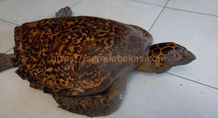 Kura-kura diawetkan